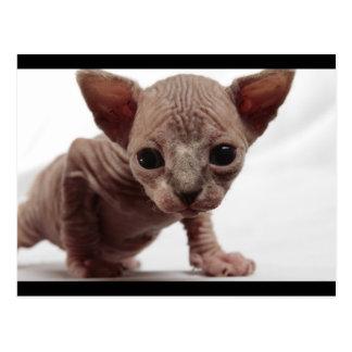 Cute Furless Sphynx Kitten Postcard