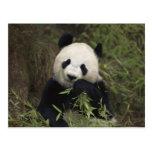 Cute Giant Panda Postcard