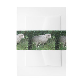 Cute Greedy Sheep Eating Invite Belly Bands Invitation Belly Band