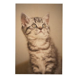 Cute Grey British Short Hair Kitten (Blue Tabby) Wood Canvas