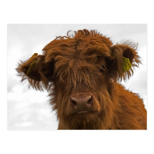 Cute highland baby cow portrait postcard