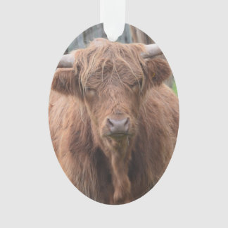 Cute Highland Cow by Fence