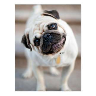 Cute Inquisitive Pug Design Postcard
