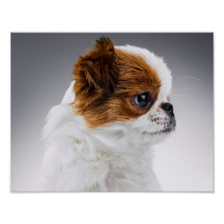 Cute Japanese Chin Puppy Portrait Poster
