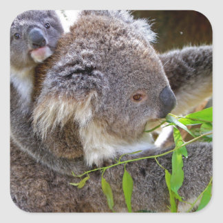 Cute Koala Bear Destiny Nature Aussi Outback Square Sticker