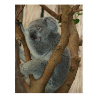 Cute Koala Bear Sleeping Postcard
