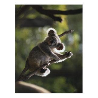 Cute Koala Climbing Postcard