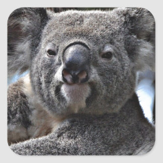 cute koala square sticker