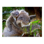 Cute Koalas Post Cards