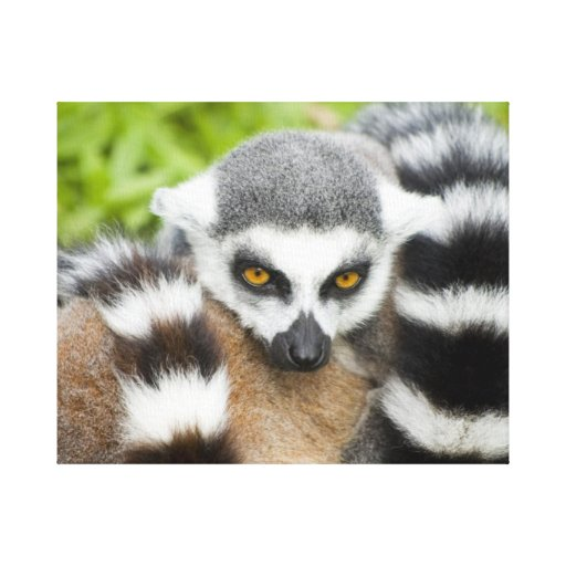 Cute Lemur Stripey Tail Gallery Wrapped Canvas