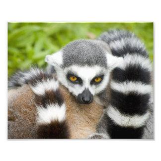 Cute Lemur Stripey Tail Photo Art