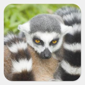 Cute Lemur Stripey Tail Square Sticker
