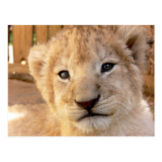 Cute Lion Cub Postcard