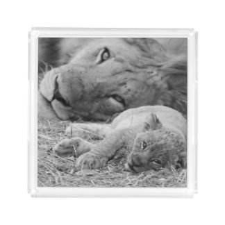 Cute Lion Cub Resting With Father Acrylic Tray
