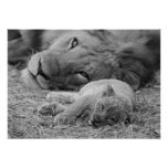 Cute Lion Cub Resting With Father Poster