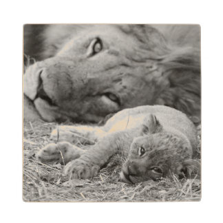 Cute Lion Cub Resting With Father Wood Coaster
