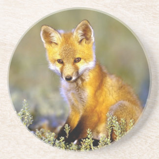 cute little baby red fox sandstone coaster