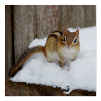 Cute Little Chipmunk in the Snow Perfect Poster