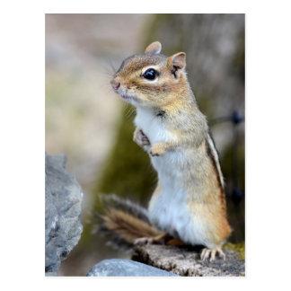 Cute Little Chipmunk on Alert Postcard