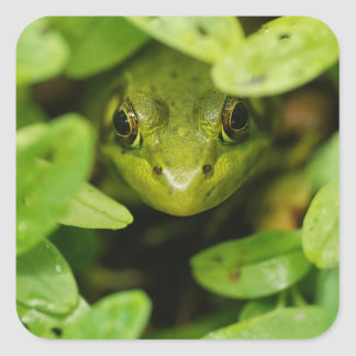 Cute Little Green Frog Square Sticker