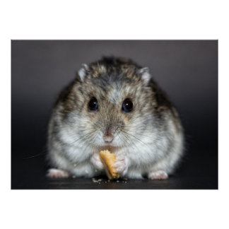 Cute little hamster eating poster