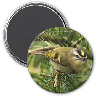 Cute Little Kinglet Causes a Stir in the Fir 7.5 Cm Round Magnet