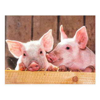 Cute Little Piggies Postcard