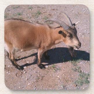 Cute little pygmy goat! coaster