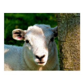 CUTE LITTLE SHEEP POSTCARD