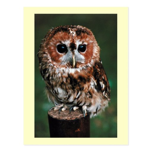 Cute Little Wild Owl Postcards