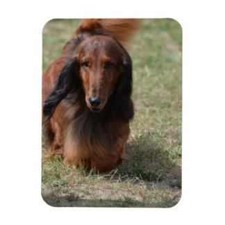 Cute Long Haired Daschund Rectangular Photo Magnet