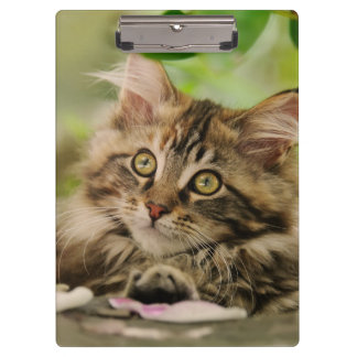 Cute Maine Coon Cat Kitten Photo Portrait - on Clipboard