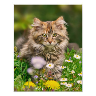 Cute Maine Coon Kitten Cat in a Meadow  Paperprint Photographic Print