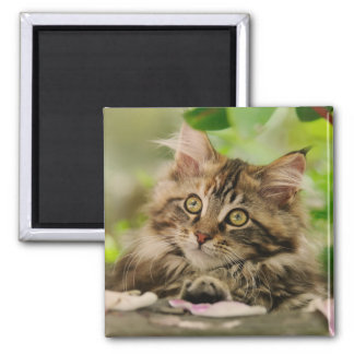 Cute Maine Coon kitten Square Magnet