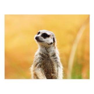 Cute Meerkat Postcard