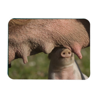 Cute Nuzzling Piglet - Funny Baby Animal Rectangular Photo Magnet