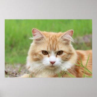 Cute orange cat lying in grass poster