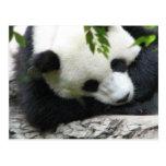 Cute Panda Postcard