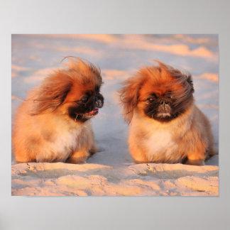 Cute Pekingese Dogs Poster