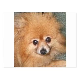 Cute Pomeranian Face Postcard