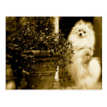 Cute Pomeranian Post Cards