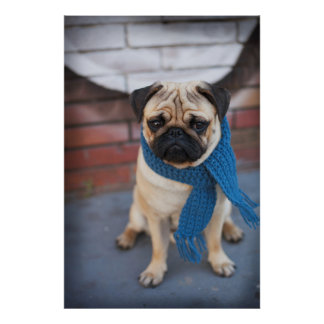 Cute Pug Dog Portrait with Blue Scarf, City Dog Poster