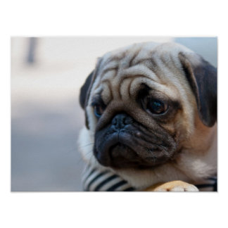 Cute Pug Face Closeup Poster