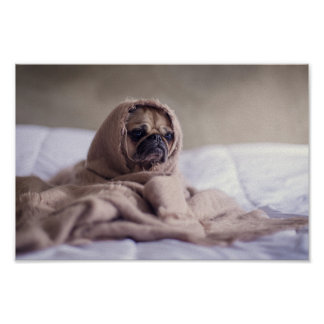 Cute pug  in a blanket poster