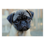 Cute Pug Mug Poster