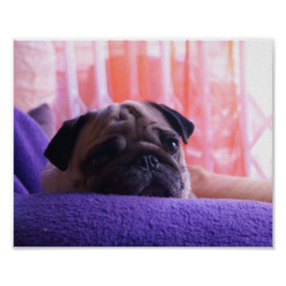 Cute Pug Photo Sitting On Violet Blanket Posters