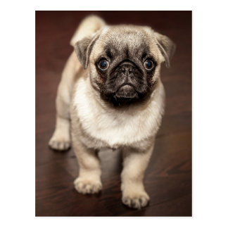 Cute Pug Puppy Photo Postcard