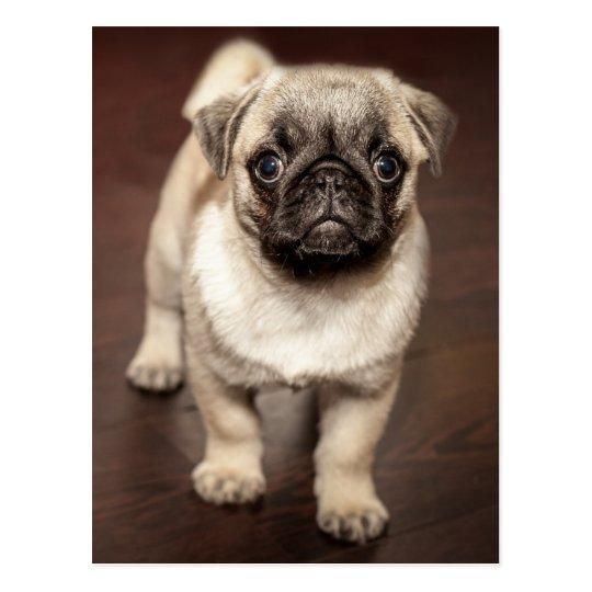 Cute Pug Puppy Postcard