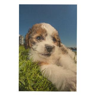 Cute puppy dog (Shitzu) Wood Prints