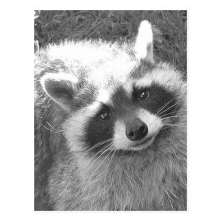 Cute Raccoon Postcard